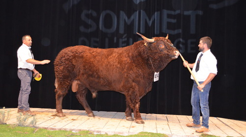 HERODE : PREMIER TAUREAU SALERS CHAMPION DISPONIBLE A L'I.A.